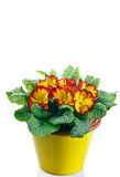 Primrose in pot Royalty Free Stock Photography