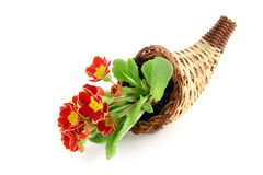 Primrose potted in Cornucopia. gardening. Primrose potted in Cornucopia. white isolated background stock image