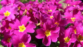Primrose (Primula acaulis) Royalty Free Stock Photography