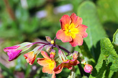 Primrose or primula flowers. Royalty Free Stock Images