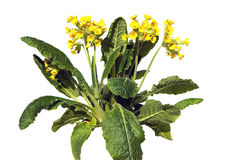 Primrose or primula veris on white background. Primrose or primula veris, also known as cowslip on white background, this plant is used for lung diseases Stock Photo