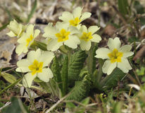 Primrose - Primula vulgaris Royalty Free Stock Photos