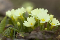Primrose - Primula vulgaris Royalty Free Stock Photography