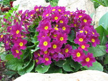 Primrose - Primula vulgaris Imagem de Stock Royalty Free