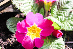 Primrose ή Primula vulgaris Στοκ φωτογραφία με δικαίωμα ελεύθερης χρήσης