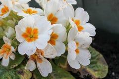 Primrose ή Primula vulgaris Στοκ Φωτογραφίες
