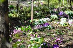 Primrose - Primula vulgaris Imagens de Stock