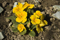 Primrose (Primula vulgaris) Stock Photo