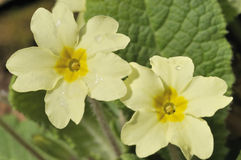 Primrose Royalty Free Stock Images