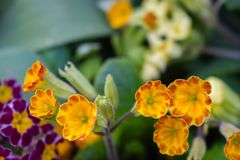 Primrose or primula vulgaris is the first flower blossoming. Primrose in spring garden stock photo