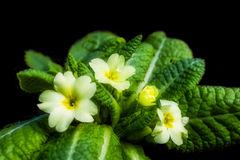 Primrose - Primula vulgaris, messenger of spring. The primrose is one of the earliest spring flowers. Royalty Free Stock Photography