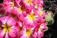Primrose or Primula vulgaris Stock Photos