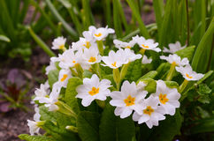 Primrose - Primula vulgaris Stock Photo