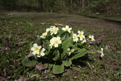 Primrose, Primula vulgaris Royalty Free Stock Photos
