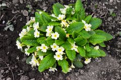 Primrose. The Primulaceae are a family of herbaceous and woody flowering plants royalty free stock photo