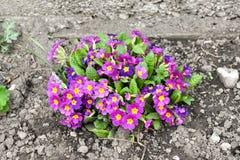 primrose Primulaceaen ?r en familj av ?rtartade och tr?ig blomma v?xter royaltyfria foton