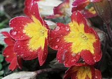 Primrose red (Hybrid Crescendo rouge) Royalty Free Stock Photo