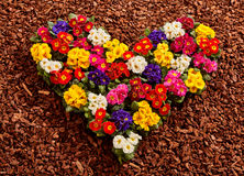 Primrose seedlings formed as colorful heart royalty free stock photography