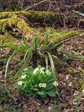 Primrose selvagem da floresta (Primula Vulgaris). Foto de Stock Royalty Free