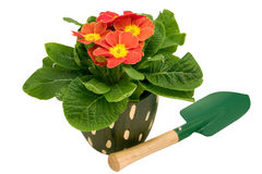 Primrose with spade Stock Photo