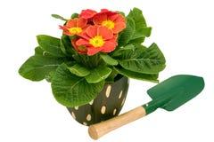 Primrose with spade Stock Photo