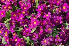 Primrose in spring Stock Photos
