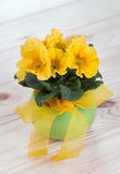 Primrose spring flowers in a green pot with yellow ribbon Stock Photography