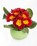 Primrose spring red and yellow flowers in a green pot with with green leafs Stock Photos