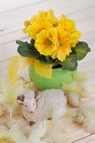 Primrose spring yellow flowers in a green pot with with green leafs and yellow ribbon Royalty Free Stock Photo