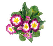 Primrose top view Stock Images