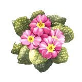 Primrose, watercolor Royalty Free Stock Image