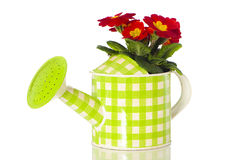 Primrose in watering can. Isolated on white stock photo