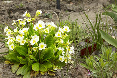 Primrose Stock Photography