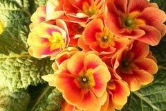 Primrose Royalty Free Stock Photography