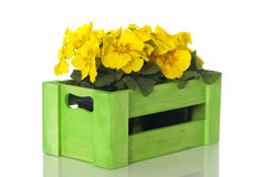 Primrose in wooden box. Isolated on white royalty free stock image
