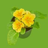 Primrose yellow flower violet. On green background stock photo