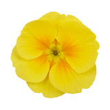 Primrose yellow flower violet Stock Photos
