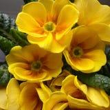 Primrose Royalty Free Stock Images