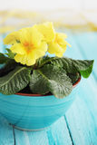 Primrose yellow flowers Stock Photography