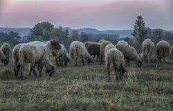primrosen för Australien flockläge sands får tasmania Royaltyfria Foton