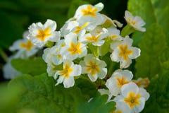 Primroses το καλοκαίρι κήπων Στοκ Εικόνα