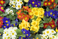 Primroses. Many colorful primroses filling the entire picture Stock Photos