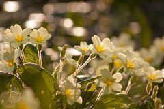 Primroses Stock Photos