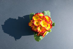 Primroses. Pot of primroses on a gray background Stock Image