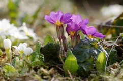 The primroses. Colorful primroses in a garden royalty free stock photo