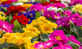 Primroses. Shallow focus on central flowers of a very colorful display of Primroses Stock Image