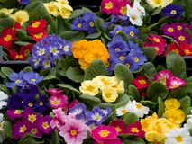 Free Primroses Stock Images - 4401214