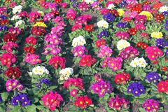 Primroses. Of many colors stock images