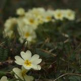 primroses Στοκ εικόνες με δικαίωμα ελεύθερης χρήσης