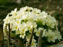 primroses Royaltyfria Bilder